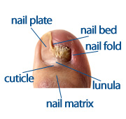 chart of nail anatomy showing nail bed, nail plate, folds, lunula and nail matrix