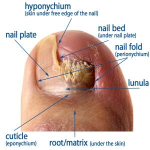 Human nail anatomy chart