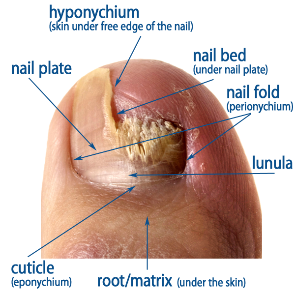 nail anatomy | nail and toe, Human body